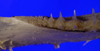 http://mczbase.mcz.harvard.edu/specimen_images/fish/large/160673_Mitsukurina_owstoni_lower_jaw_posterior.jpg