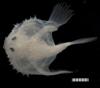 http://mczbase.mcz.harvard.edu/specimen_images/fish/large/171688_Halieutichthys.jpg
