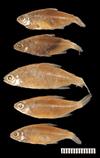 http://mczbase.mcz.harvard.edu/specimen_images/fish/large/20840_Hemigrammus_microstomus_PT.jpg