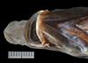http://mczbase.mcz.harvard.edu/specimen_images/fish/large/28468_Halosaurus_attenuatus_HT_hv3.jpg
