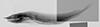 http://mczbase.mcz.harvard.edu/specimen_images/fish/large/28611_3393A_Antimora_rhino_ST_X.jpg