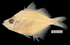 http://mczbase.mcz.harvard.edu/specimen_images/fish/large/47233_Parambassis_wolfii.jpg