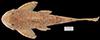 Media of type image, MCZ:Ich:48772 Identified as Hemiancistrus furtivus type status Paratype of Hemiancistrus furtivus. . Aspect: dorsal