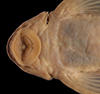 Media of type image, MCZ:Ich:48772 Identified as Hemiancistrus furtivus type status Paratype of Hemiancistrus furtivus. . Description:photograph. Aspect: head ventral