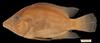http://mczbase.mcz.harvard.edu/specimen_images/fish/large/49322_Caquetaia_myersi.jpg