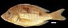 http://mczbase.mcz.harvard.edu/specimen_images/fish/large/49497_Ctenopharynx_intermedius.jpg