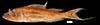 http://mczbase.mcz.harvard.edu/specimen_images/fish/large/50834_Haplotaxodon_cf_tricoti.jpg