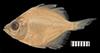 http://mczbase.mcz.harvard.edu/specimen_images/fish/large/60878_Parambasis_lala.jpg