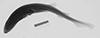 http://mczbase.mcz.harvard.edu/specimen_images/fish/large/61163_1_Scylliorhinus_X_.jpg