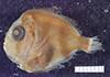 http://mczbase.mcz.harvard.edu/specimen_images/fish/large/66464_Caristius.jpg