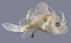 http://mczbase.mcz.harvard.edu/specimen_images/fish/large/76666_lophius_sp_.jpg