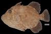 http://mczbase.mcz.harvard.edu/specimen_images/fish/large/86697_Canthidermis_.jpg