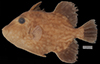 http://mczbase.mcz.harvard.edu/specimen_images/fish/large/86698.jpg