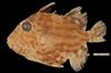http://mczbase.mcz.harvard.edu/specimen_images/fish/large/87461_Canthidermis.jpg