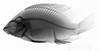 http://mczbase.mcz.harvard.edu/specimen_images/fish/large/MCZ100232_Oreochromis_niloticus_X.jpg