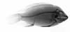 http://mczbase.mcz.harvard.edu/specimen_images/fish/large/MCZ100591_1_Tillapia_zilli_X.jpg