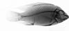 http://mczbase.mcz.harvard.edu/specimen_images/fish/large/MCZ100591_2_Tillapia_zilli_X.jpg