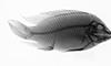 http://mczbase.mcz.harvard.edu/specimen_images/fish/large/MCZ100593_Tillapia_zilli_X.jpg