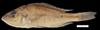 http://mczbase.mcz.harvard.edu/specimen_images/fish/large/MCZ146262_Allochromis_nawampasa.jpg