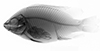 http://mczbase.mcz.harvard.edu/specimen_images/fish/large/MCZ170930_Oreochromis_niloticus_X.jpg