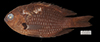 http://mczbase.mcz.harvard.edu/specimen_images/fish/large/MCZ172588.jpg