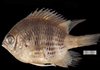 http://mczbase.mcz.harvard.edu/specimen_images/fish/large/MCZ172594.jpg