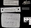 http://mczbase.mcz.harvard.edu/specimen_images/fish/large/MCZ31533_Demicoilia_margaritifera_HT_label.jpg
