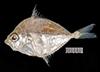 http://mczbase.mcz.harvard.edu/specimen_images/fish/large/MCZ34097_Leiognathus.jpg