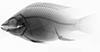 http://mczbase.mcz.harvard.edu/specimen_images/fish/large/MCZ46380_1_Oreochromis_niloticus_X.jpg
