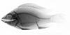 http://mczbase.mcz.harvard.edu/specimen_images/fish/large/MCZ46380_2_Oreochromis_niloticus_X.jpg