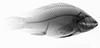 http://mczbase.mcz.harvard.edu/specimen_images/fish/large/MCZ46388_2_Oreochromis_niloticus_X.jpg
