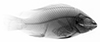 http://mczbase.mcz.harvard.edu/specimen_images/fish/large/MCZ46388_Oreochromis_niloticus_X.jpg