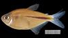 http://mczbase.mcz.harvard.edu/specimen_images/fish/large/MCZ58842_Moenkhausia_naponis.jpg