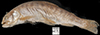 http://mczbase.mcz.harvard.edu/specimen_images/fish/large/MCZ70067011_4_oncorhynchus_clarki.jpg