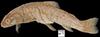 http://mczbase.mcz.harvard.edu/specimen_images/fish/large/MCZKBR70067011_1_oncorhynchus_clarki.jpg