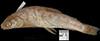 http://mczbase.mcz.harvard.edu/specimen_images/fish/large/MCZKBR70067011_2_oncorhynchus_clarki.jpg