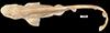 http://mczbase.mcz.harvard.edu/specimen_images/fish/large/MCZS-1457_Scylliorhyinus_torrei_HT_d.jpg