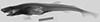 http://mczbase.mcz.harvard.edu/specimen_images/fish/large/S11457_Scylliorhinus_torrei_HT_X_.jpg