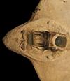 http://mczbase.mcz.harvard.edu/specimen_images/fish/large/S400_Myliobatis_teeth.jpg