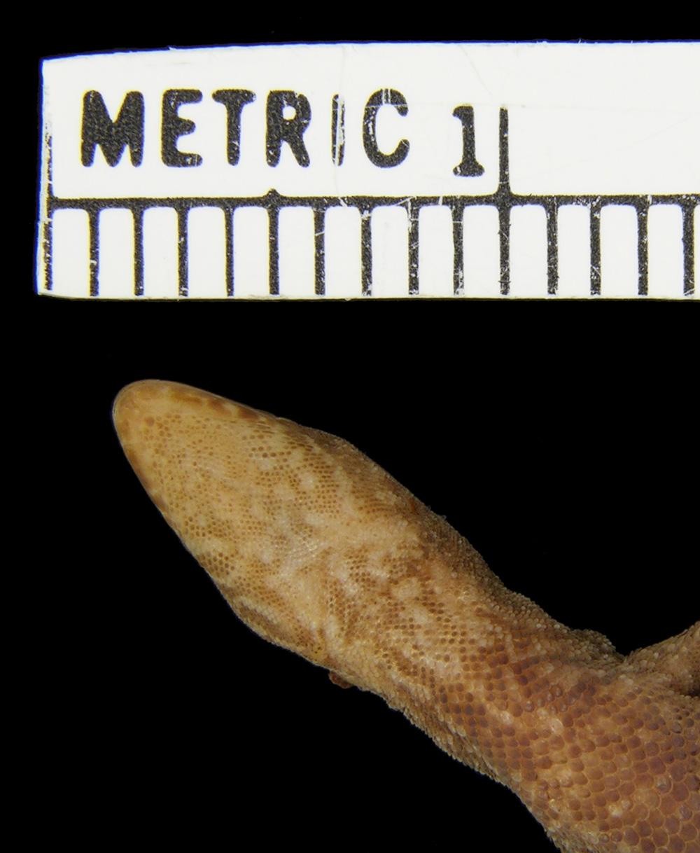 Lepidoblepharis williamsi image