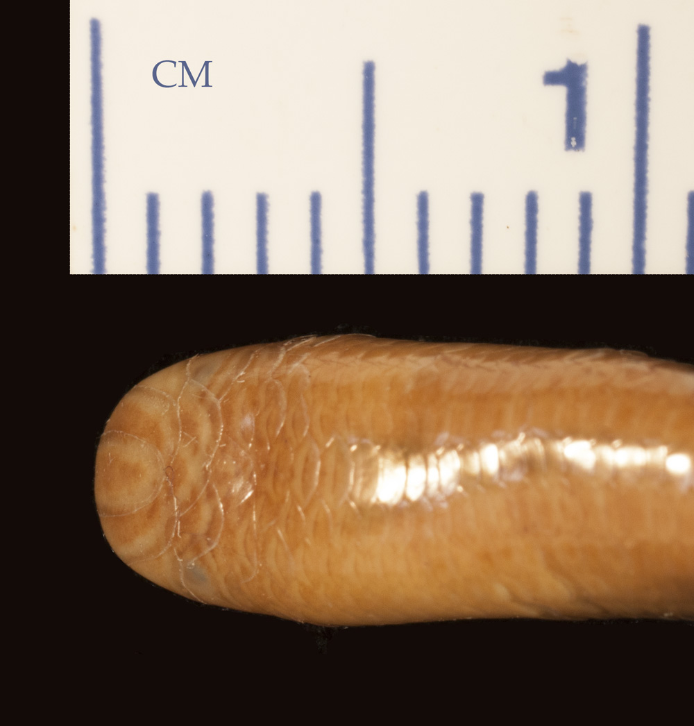Media of type image, MCZ:Herp:R-177984 Identified as Argyrophis roxaneae type status Holotype of Typhlops roxaneae.