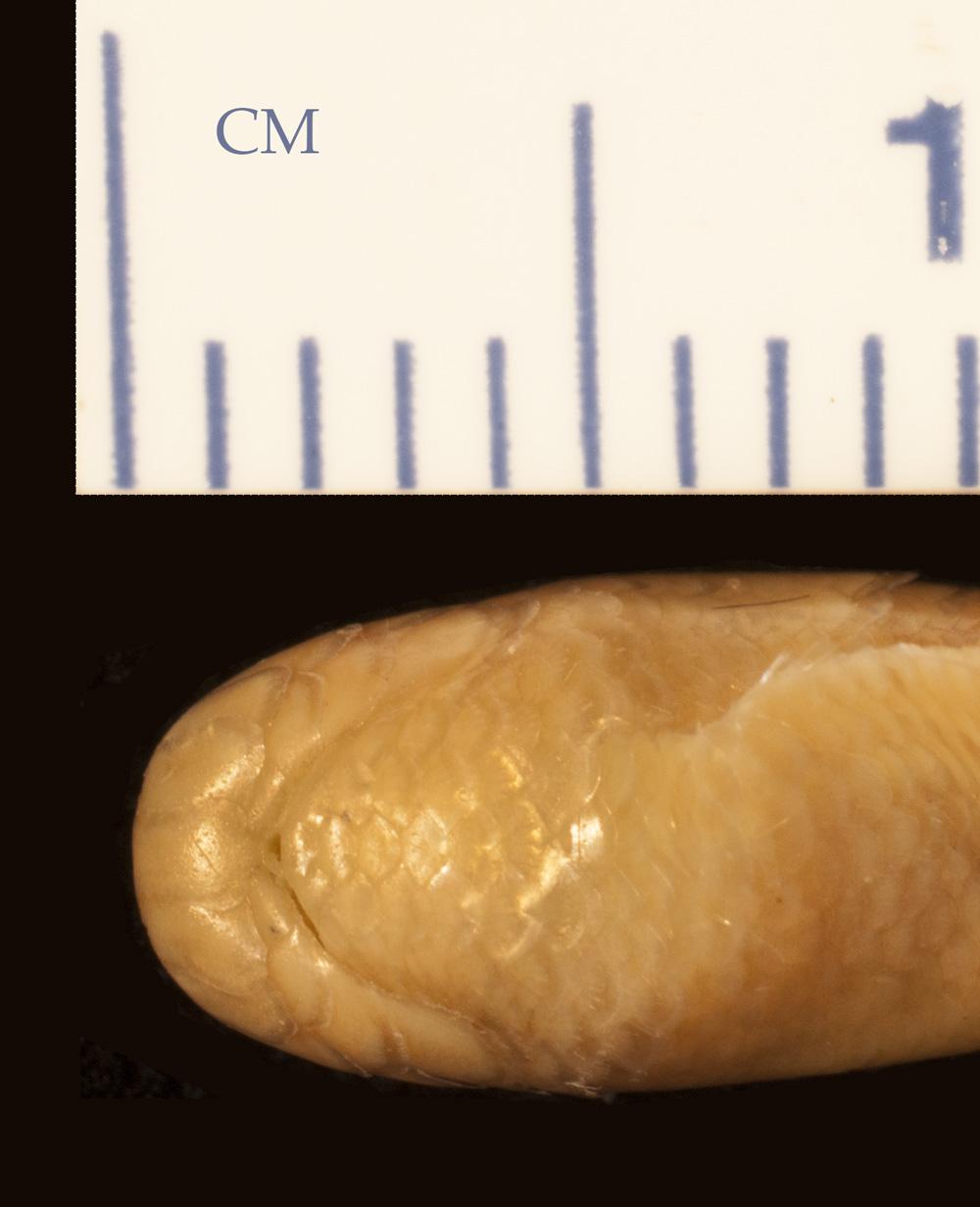 Media of type image, MCZ:Herp:R-177984 Identified as Argyrophis roxaneae type status Holotype of Typhlops roxaneae.