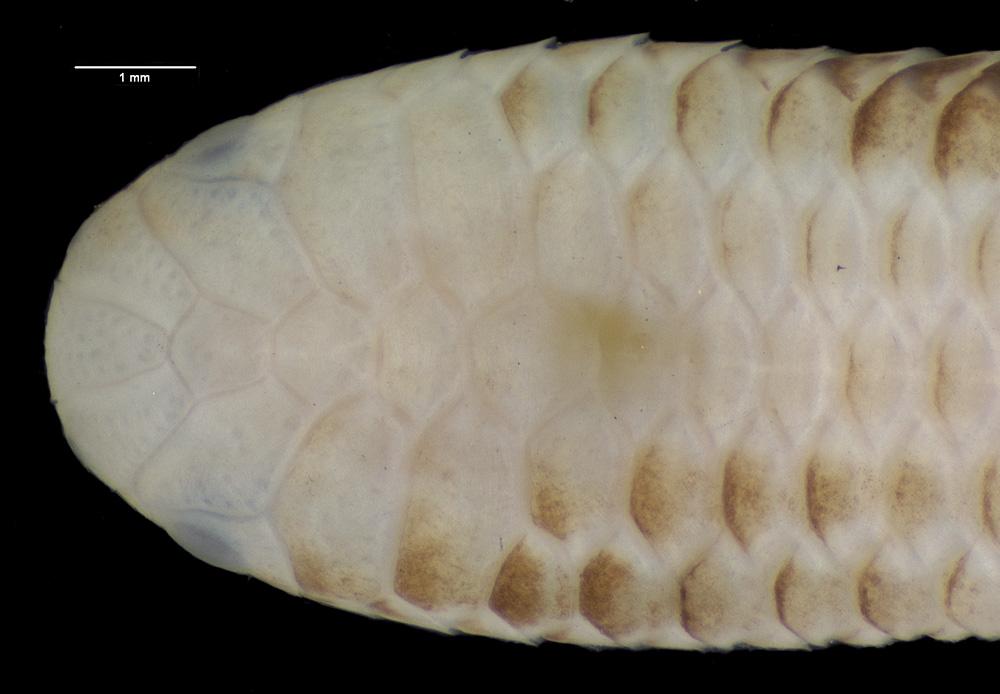 Leptotyphlops albipunctus image