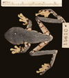 http://mczbase.mcz.harvard.edu/specimen_images/herpetology/large/A15610_A_calcarifer_d.jpg