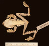 http://mczbase.mcz.harvard.edu/specimen_images/herpetology/large/A15610_A_calcarifer_v.jpg