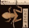 http://mczbase.mcz.harvard.edu/specimen_images/herpetology/large/A24918_E_w-nigrum_v.jpg