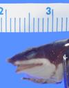Media of type image, MCZ:Herp:A-88561 Identified as Atelopus longirostris.