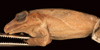 http://mczbase.mcz.harvard.edu/specimen_images/herpetology/large/A8972_E_sanctaemartae_P_ll.jpg