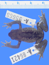 Media of type image, MCZ:Herp:A-95668 Identified as Atelopus ignescens.