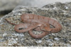 http://mczbase.mcz.harvard.edu/specimen_images/herpetology/large/OBS29_C_sp_1of1.jpg